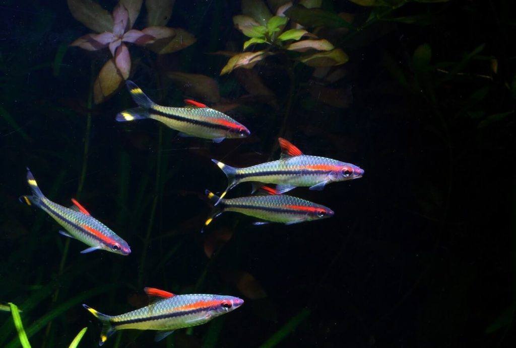 A group of Denison Barbs swimming in a freshwater aquarium