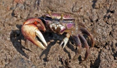 A Fiddler Crab outside