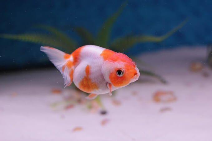 A fancy Goldfish with a shorter lifespan