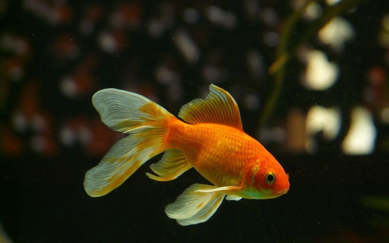 A Goldfish on pace for a long lifespan