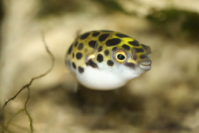 Green Spotted Puffer looking directly at the camera