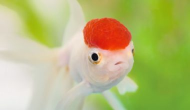 An Oranda Goldfish swimming in a planted tank