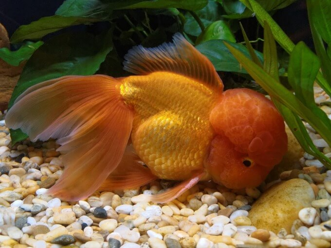 One Oranda Goldfish eating at the bottom of the tank