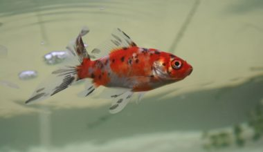Shubunkin Goldfish near the surface of the water