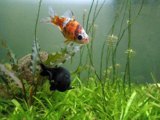 A Shubunkin Goldfish swimming with a tank mate