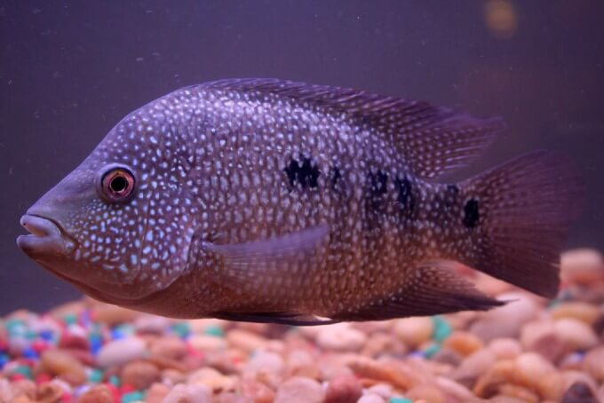 One Texas Cichlid swimming in a freshwater aquarium