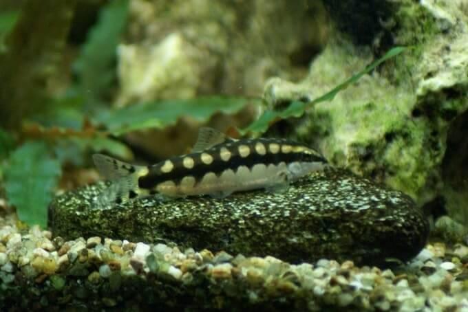Ambastaia sidthimunki in a freshwater aquarium