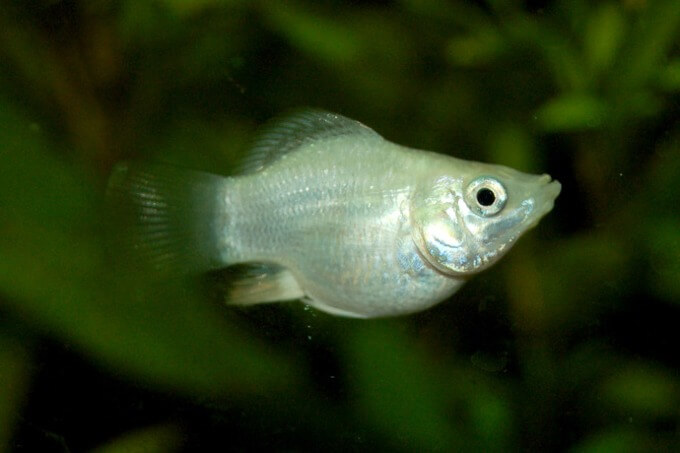 A light colored balloon molly fish