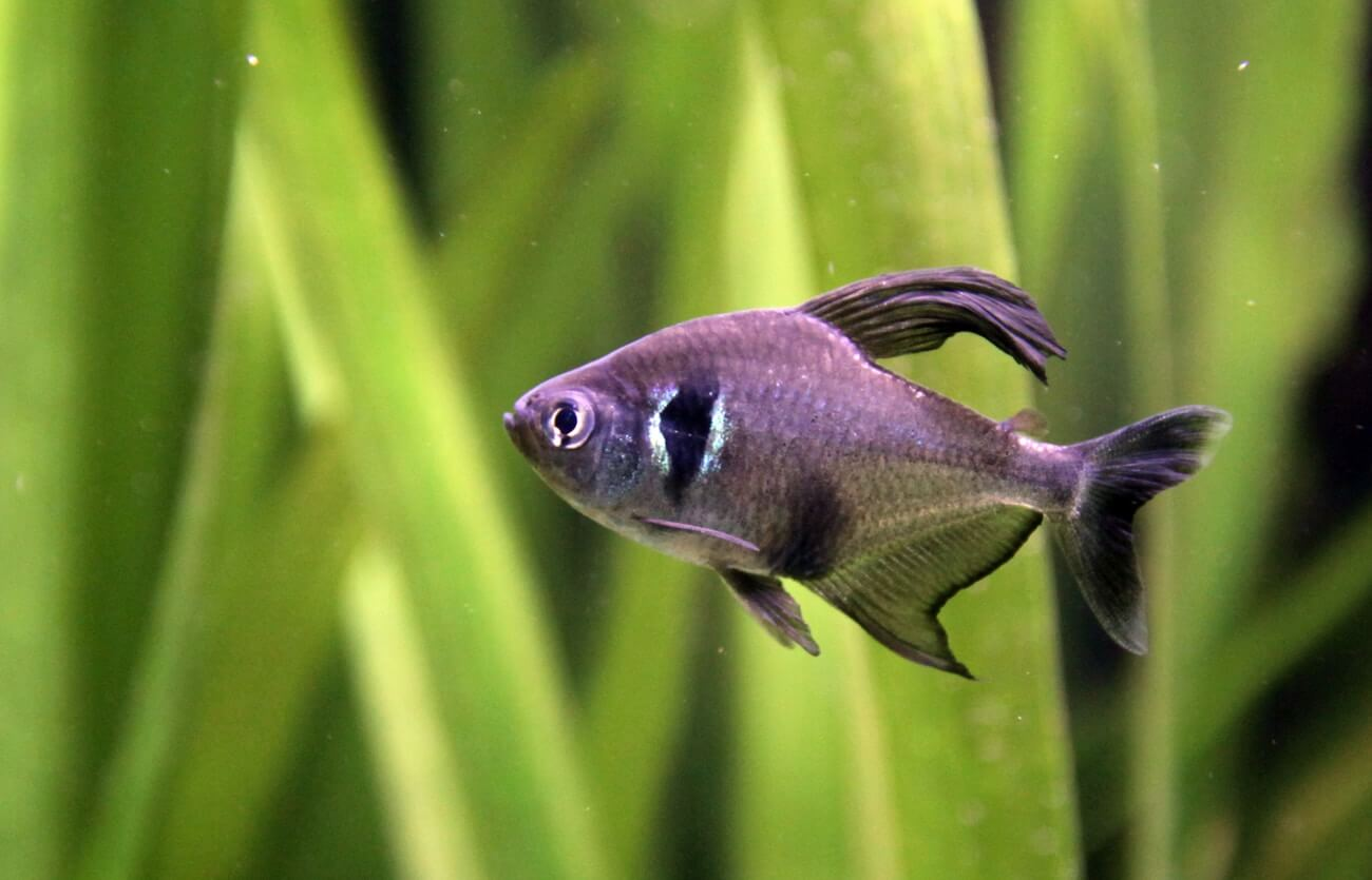A Black Phantom tetra swimming in a freshwater tank