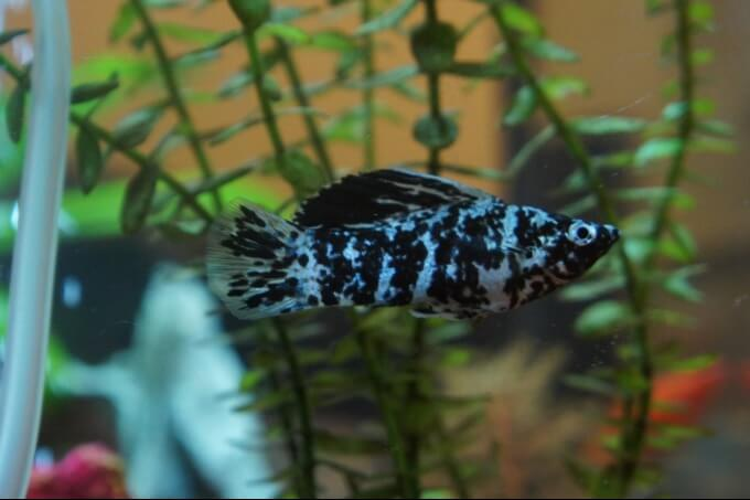 A Dalmatian molly fish in a freshwater aquarium