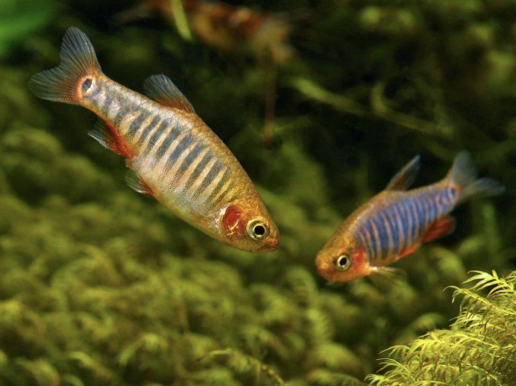 Two Emerald Dwarf Rasboras swimming in a freshwater aquarium