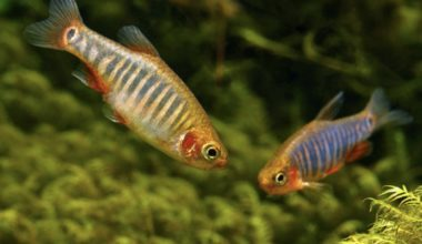 Two Emerald Dwarf Rasboras swimming in a freshwater aquarium