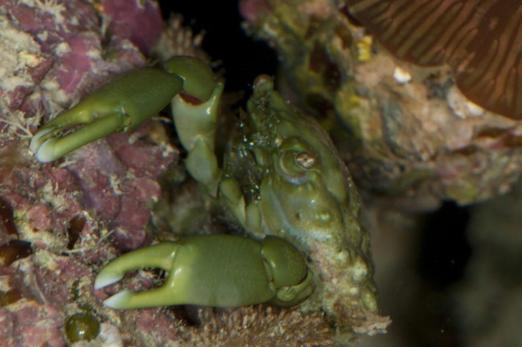 A female emerald crab