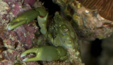 A female emerald crab