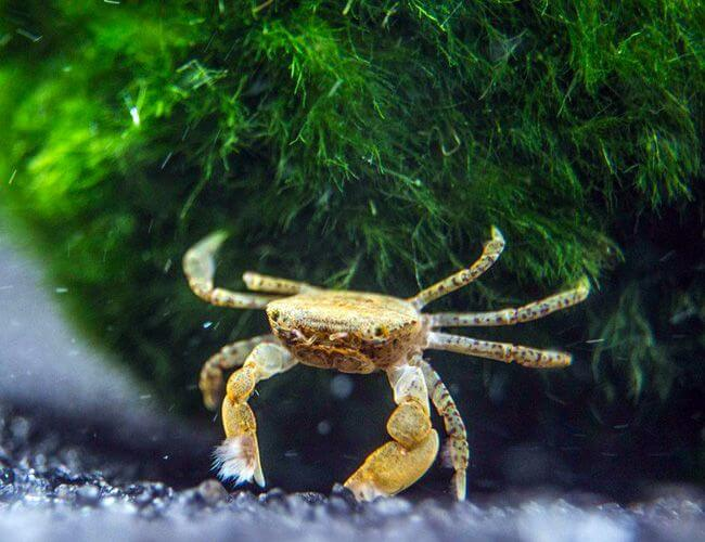 Freshwater Pom Pom crab looking for food on the substrate