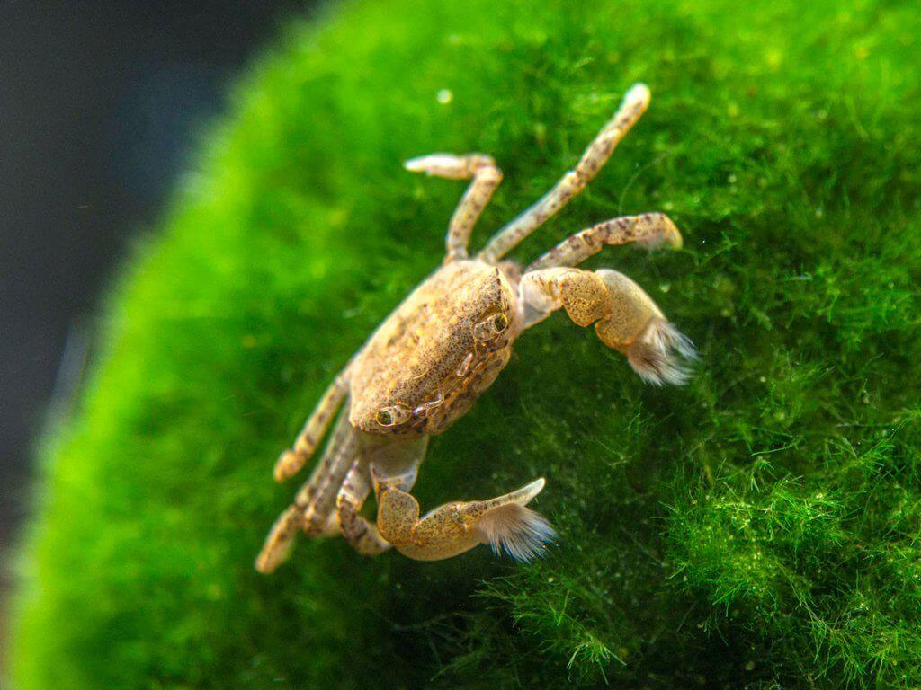 A freshwater Pom Pom crab standing on a plant
