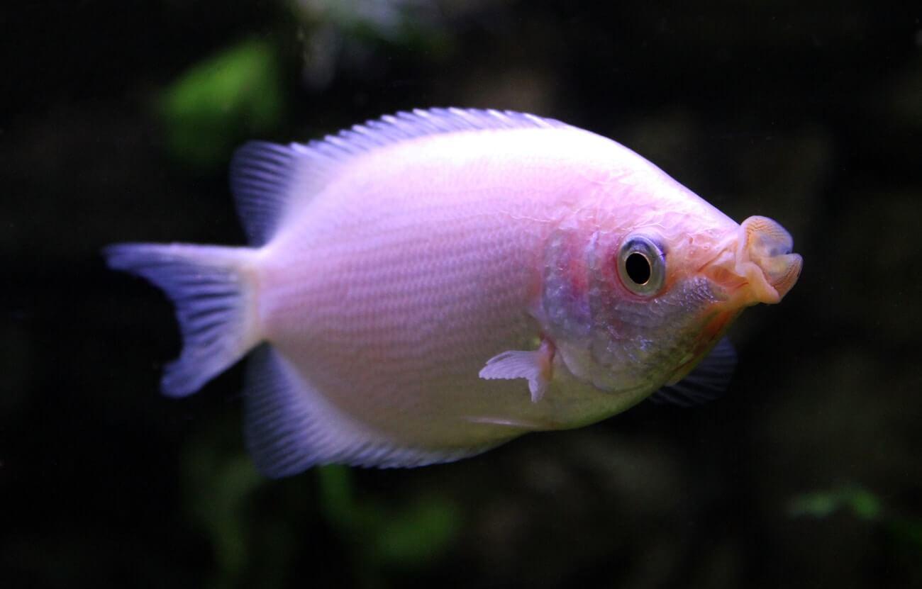 A kissing gourami exploring a freshwater aquarium