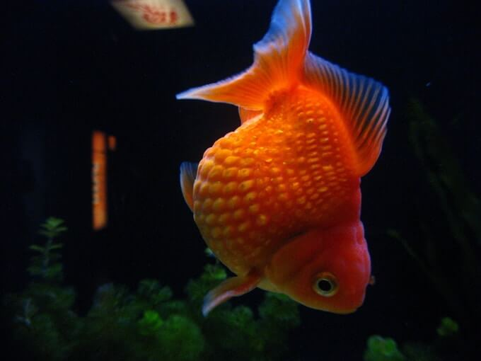 One Pearlscale goldfish swimming by itself