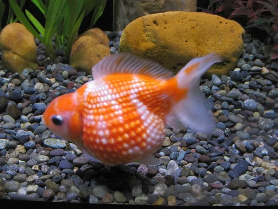 Pearlscale goldfish near the bottom of a freshwater aquarium