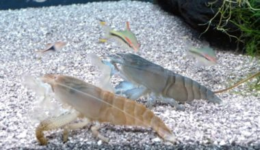Two Vampire Shrimp filter feeding in an aquarium