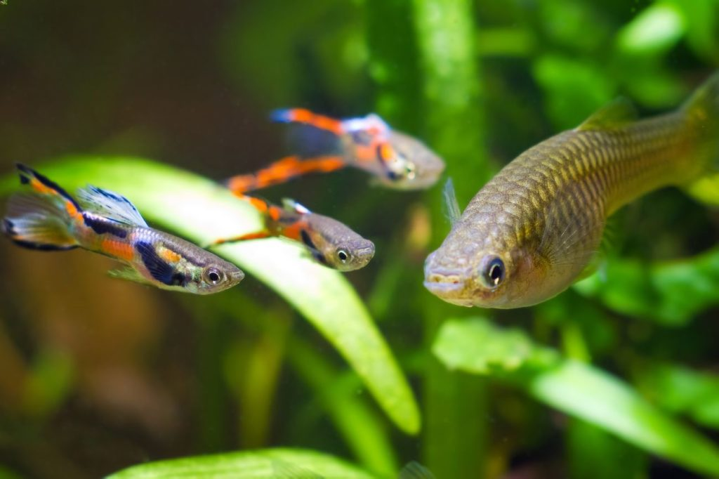 Some Endler's livebearers swimming with  a larger tank mate