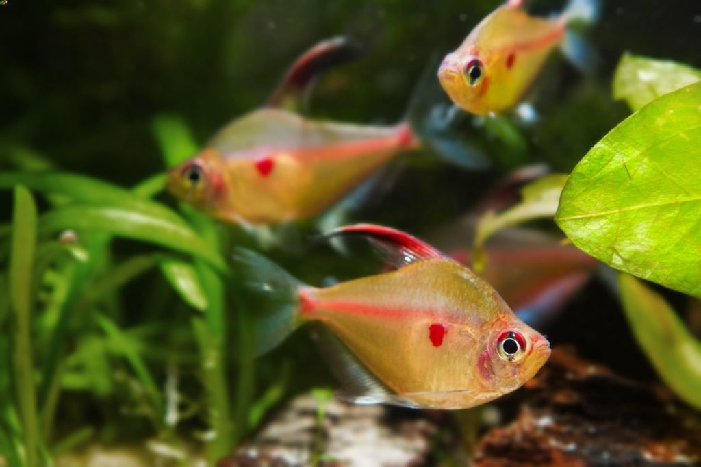 A group of bleeding heart tetras swimming together