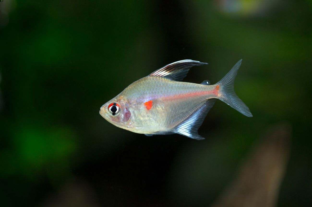 Bleeding heart tetra swimming in a freshwater tank