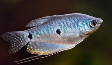 A swimming blue gourami