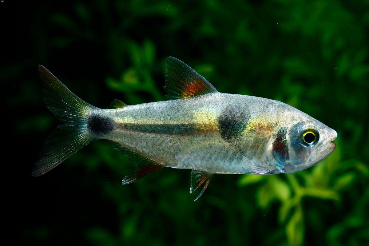 Bucktooth tetra swimming in a freshwater aquarium