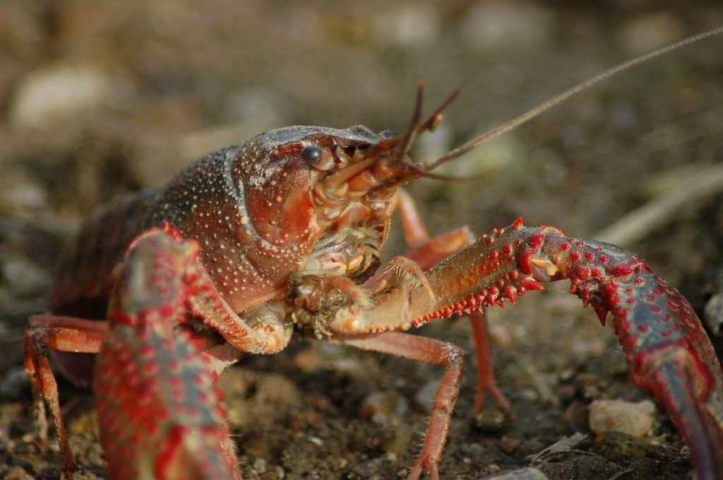 Crayfish searching for something to eat