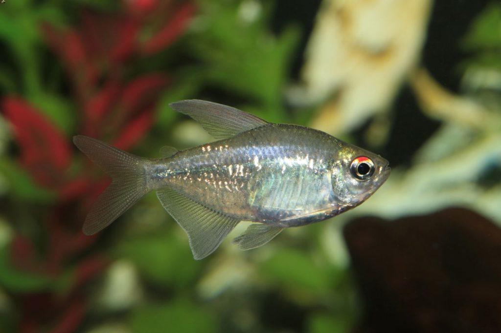 Diamond tetra swimming in a freshwater aquarium