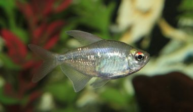 Diamond tetra swimming in a freshwater aquarium