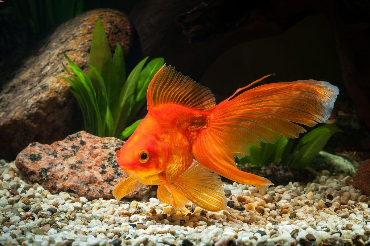 Fantail goldfish in a freshwater tank