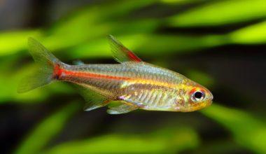 One glowlight tetra looking for food in a freshwater aquarium