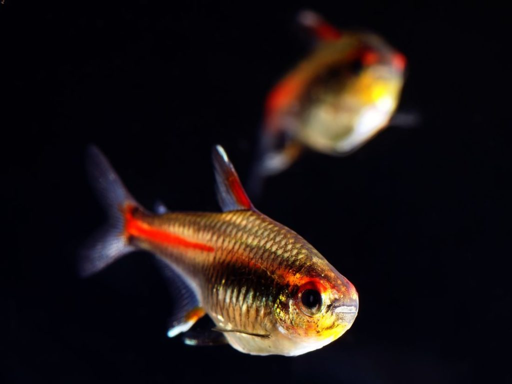 Hemigrammus erythrozonus swimming together