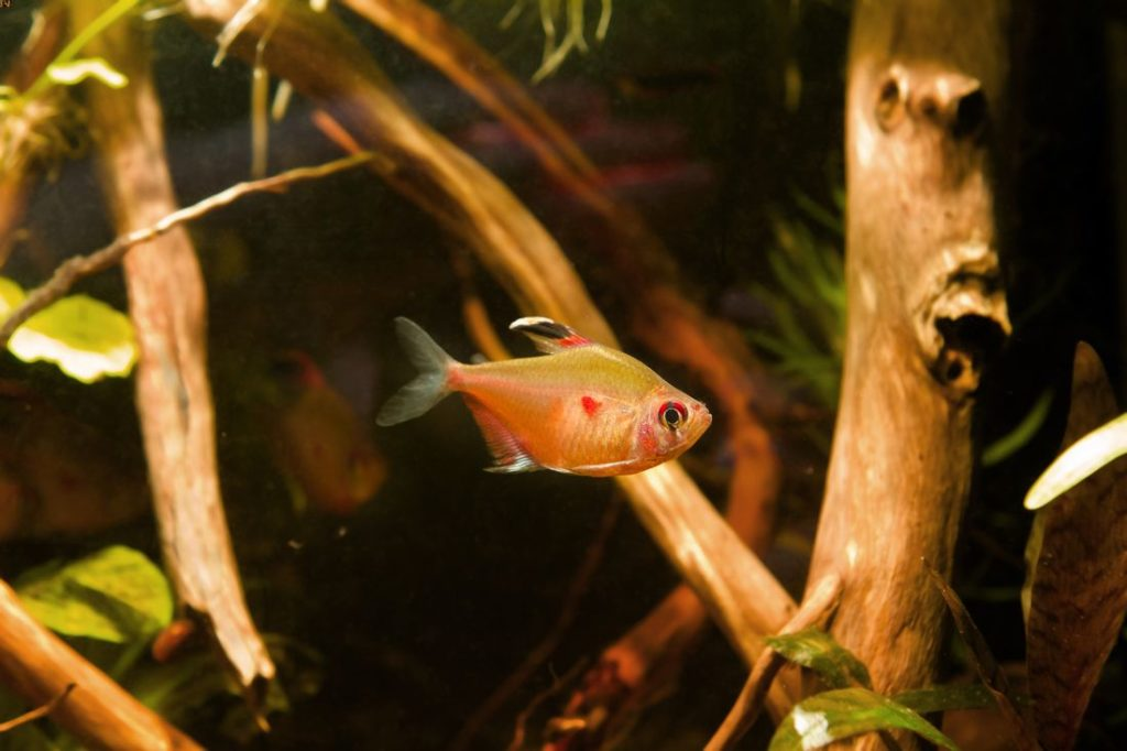 Hyphessobrycon erythrostigma in a natural aquarium