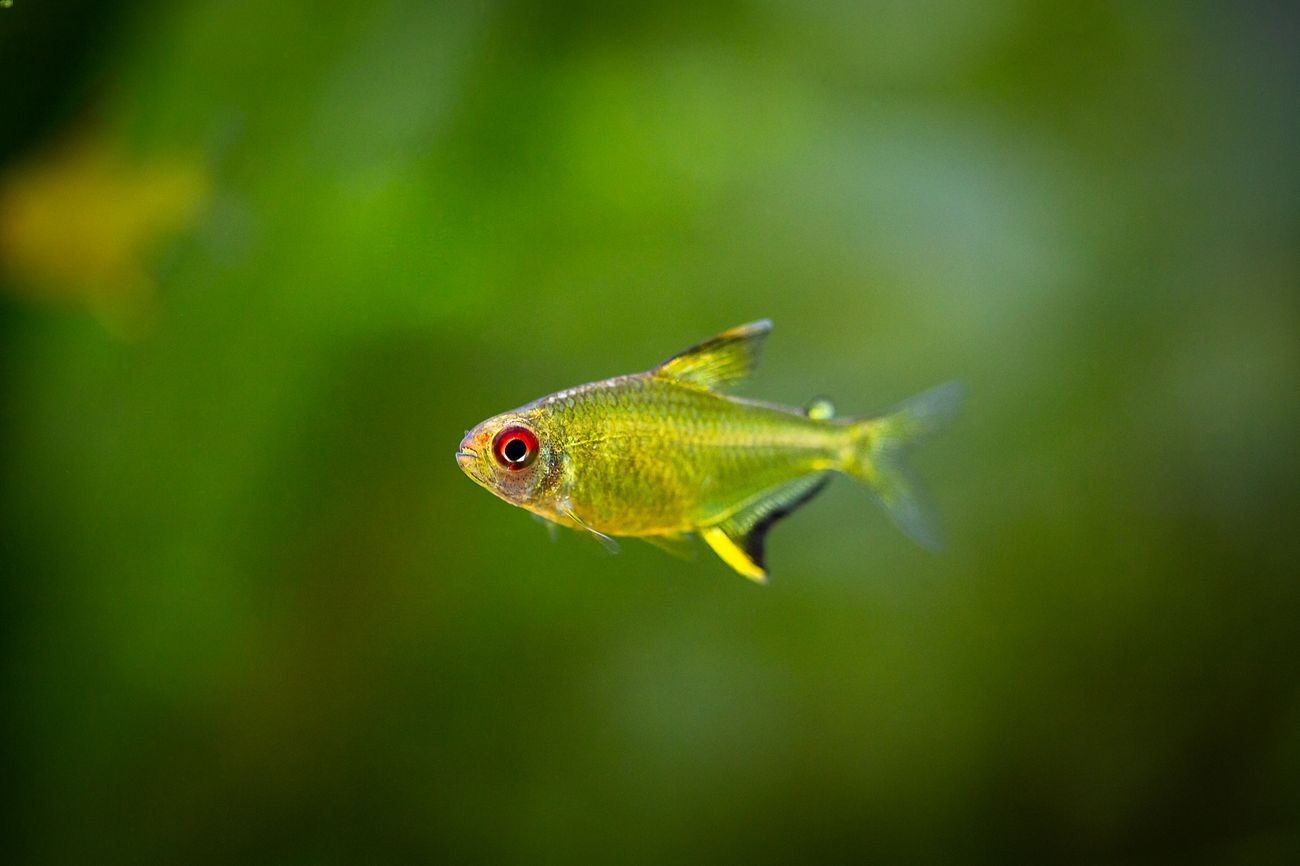 One lemon tetra in a planted tank