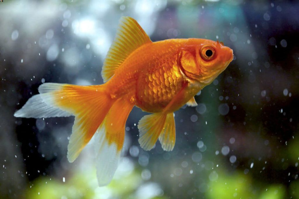A healthy Fantail goldfish swimming