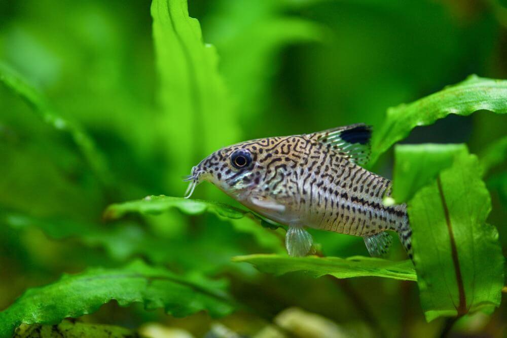 A cory catfish in a planted community aquarium