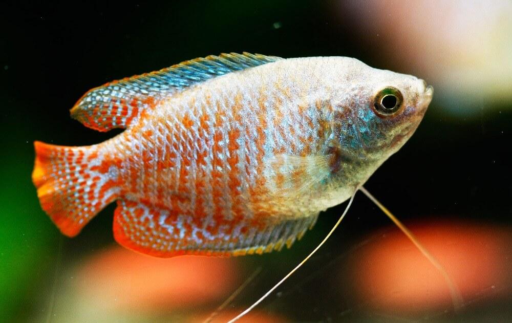 Dwarf gourami swimming in an aquarium