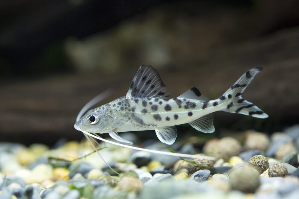 One small pictus catfish in a freshwater community tank