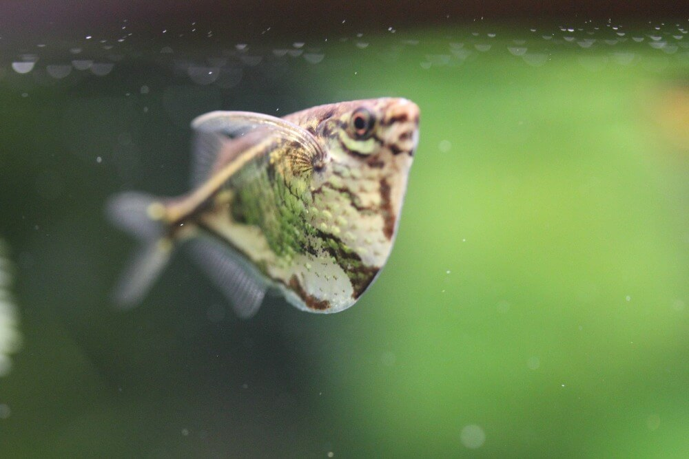 A peaceful marbled hatchetfish