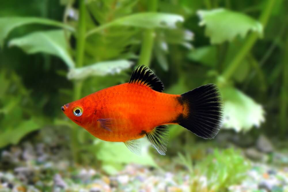 A peaceful platy fish