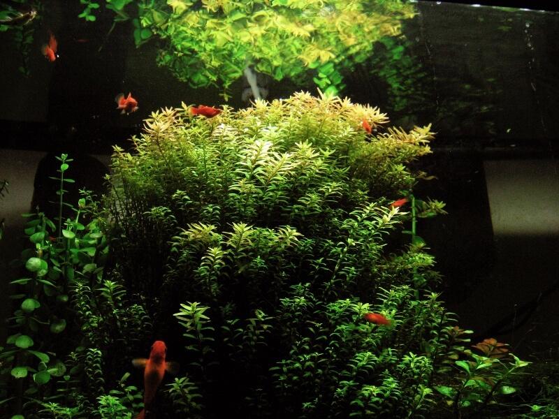 Rotala indica inside a dim aquarium