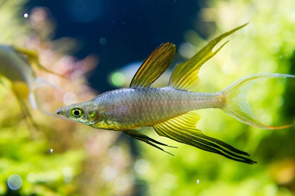 Threadfin rainbowfish swimming quickly