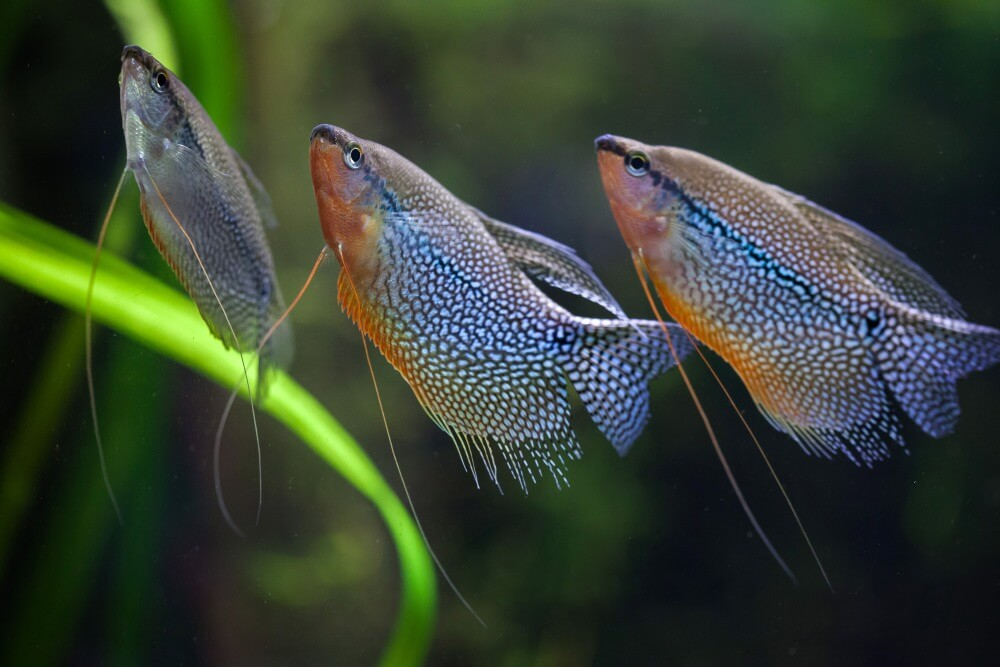 Three pearl gouramis swimming together