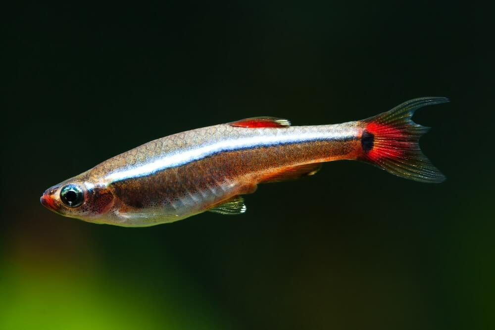 Whit Cloud Mountain minnow inside a large tank