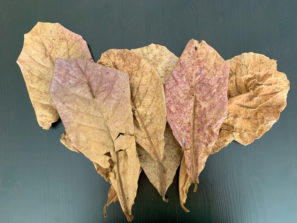 Indian almond leaves before being added to a betta fish tank