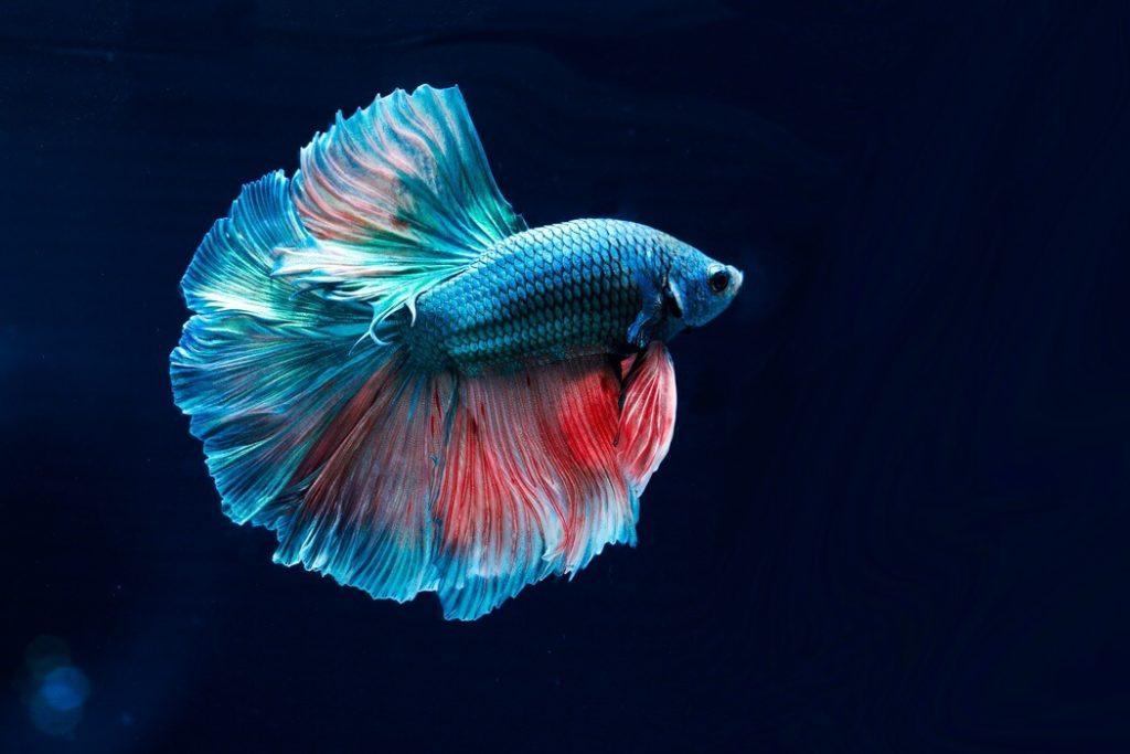Betta fish in a 5 gallon tank