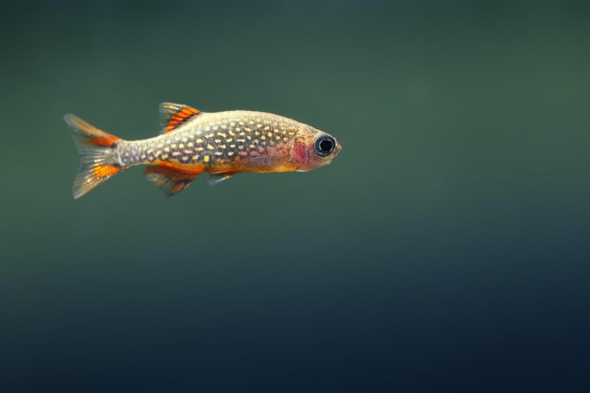 One celestial pearl danio in a five gallon aquarium